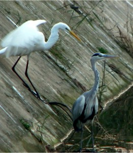 egret and heron