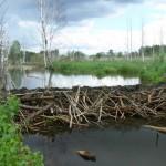 Yauza beaver dam