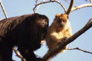 Monos caraya