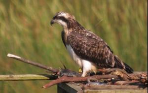 urdaibai osprey