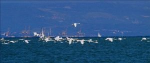 flock of mute swans over a gulf