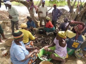la récolte d'huîtres communautaire, Sénégal