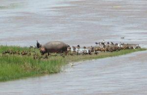 Lieu : Parc National de la Rusizi (Delta de la rivière Rusizi) Un banc de sable avec un hippopotame et des oiseaux dont les Dendrocygnes, les Vanneaux, un Bec ouvert africain et les Sternes