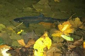 fish in a lake