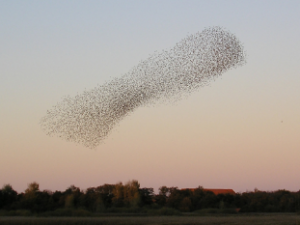 loads of starling