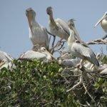 Pelicans at réserve ornithologique de Kalissaye ROK