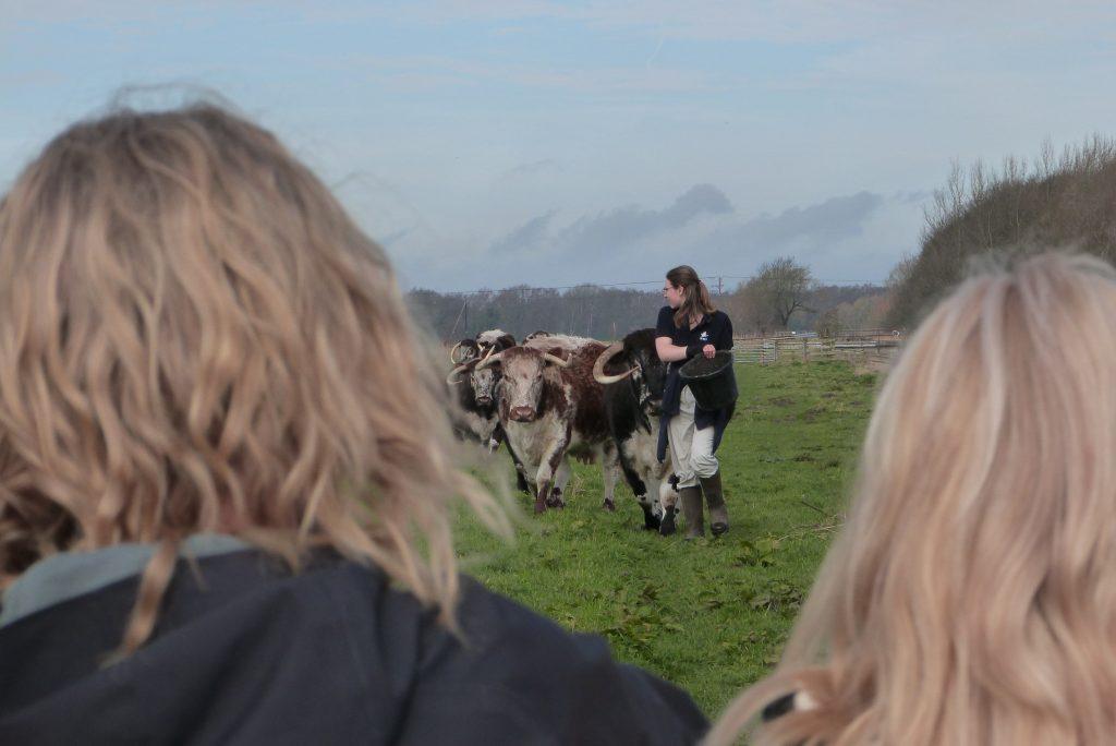 Watching a volunteer feed longhorn cattle