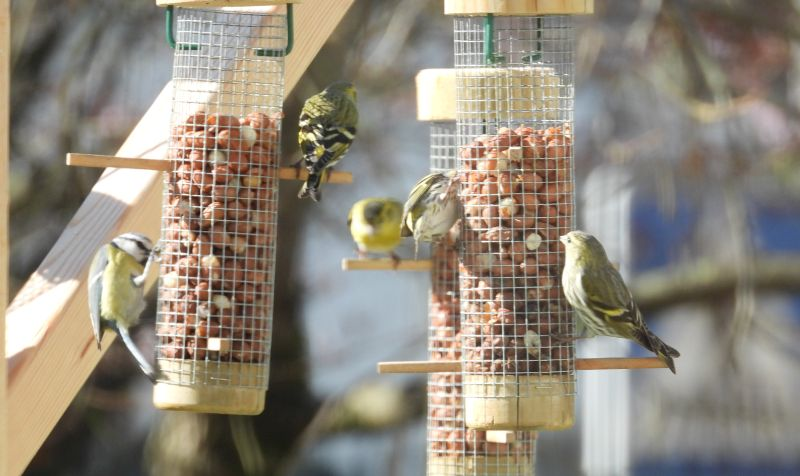 Blue tit and greenfinches at bird feeders