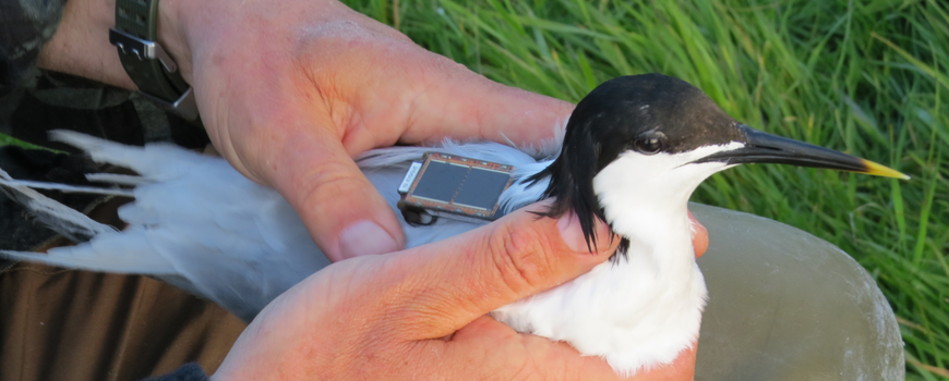 Sandwich tern in person's hand, transmitter on its back