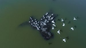 Supii Lake gulls