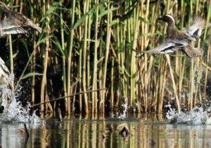 Anseriformes-of-Tongli-National-Wetland-Park-3-small