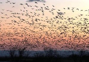 Geese-rising-up-from-the-lake-2