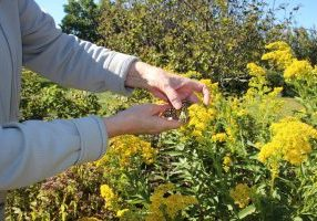 Hands holding monarch butterfly on yellow bush with tiny tag