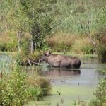 A moose in water up to its haunches, in a green landscape